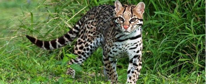 clouded-leopard-wide